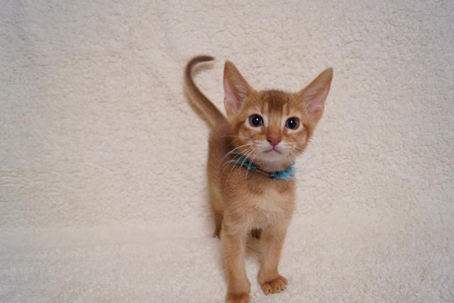 マンチカンのネコちゃん販売情報 子猫一覧 ブリーダー直販のCats