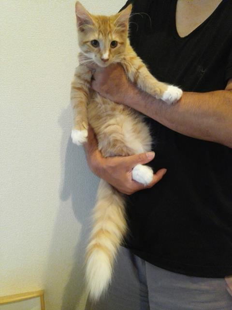 スコティッシュフォールド(男の子)の子猫販売情報 ブリーダー