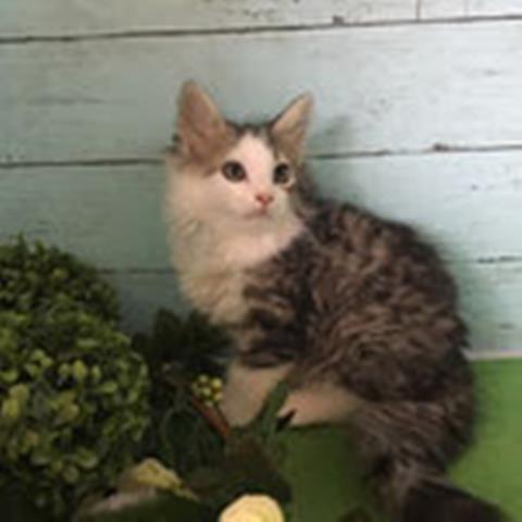 ノルウェージャンフォレストキャットのネコちゃん販売情報 子猫
