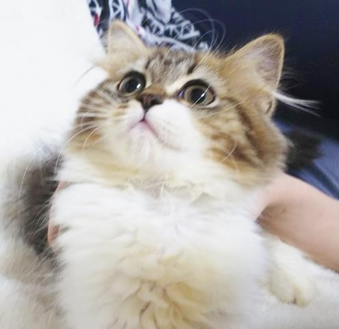 スコティッシュフォールドのネコちゃん販売情報 子猫一覧